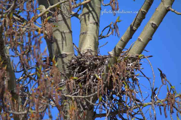 Great Horned Owl nest empty wm