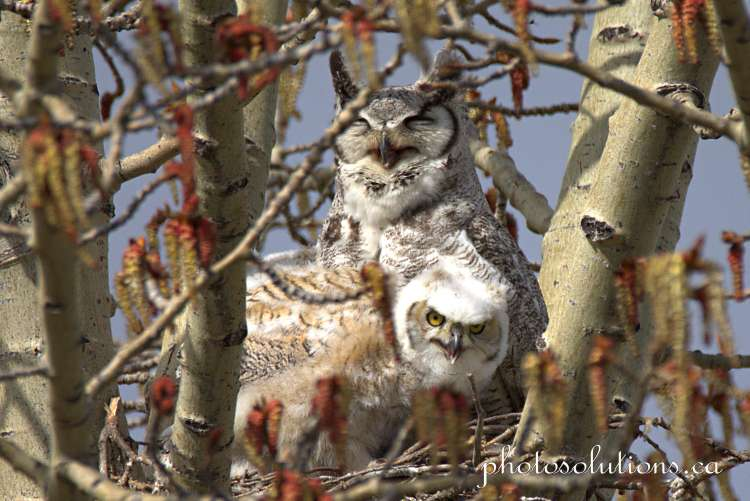 Great horned owl oldest wakes up cropped wm