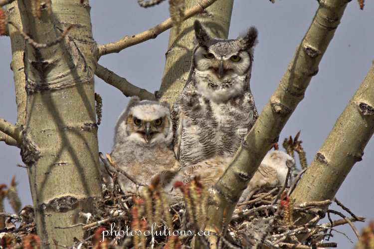 Great Horned Owl youngest awake with mom
