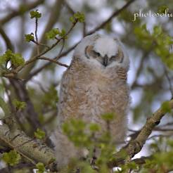 Great Horned Owlet back to sleep cropped wm