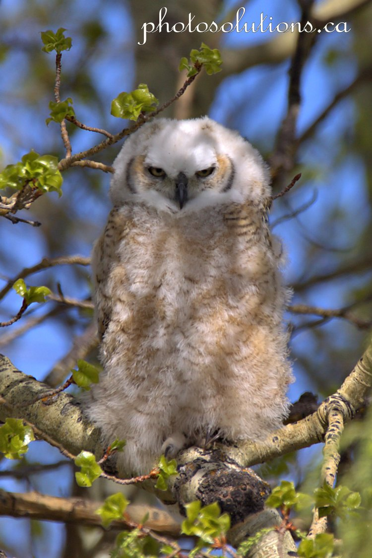 Great Horned Owlet eyes open near nest cropped wm
