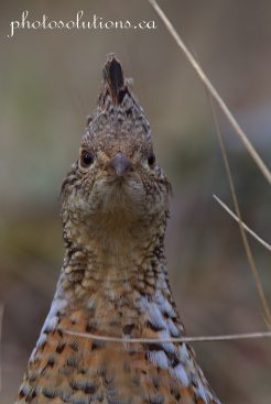 Grouse Close up stare down cropped wm