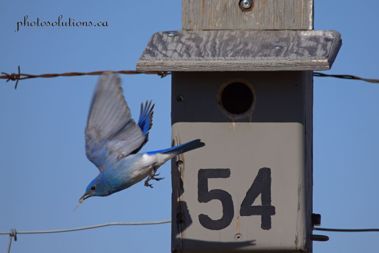 Male Bluebird building nest RR 51 in flight cropped wm