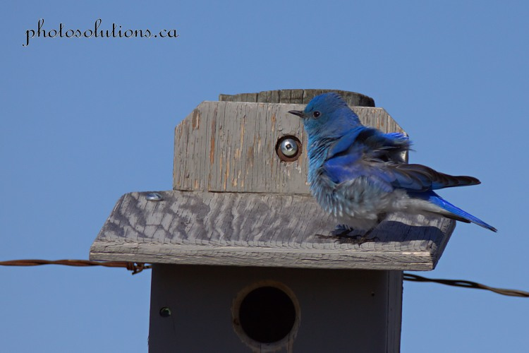Male Bluebird RR 51 ruffled feathers cropped wm