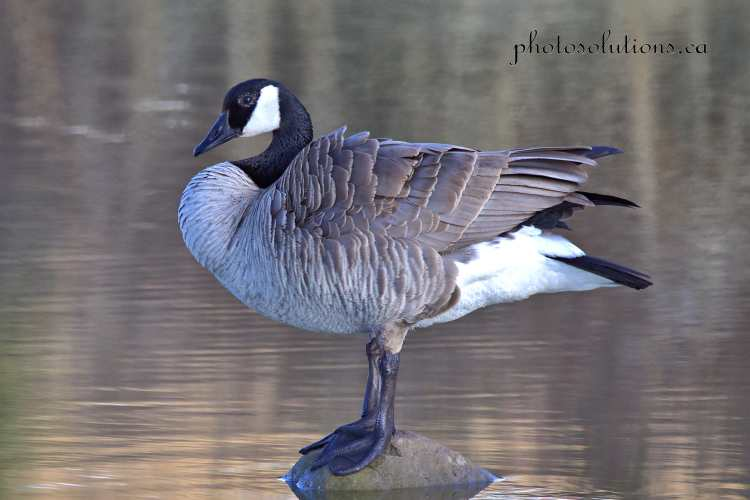 Male Goose preening on Riviera Pond 2 cropped wm