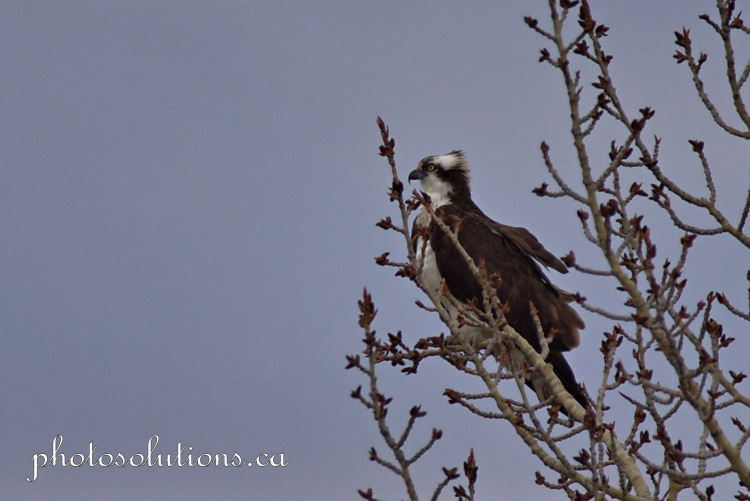 Osprey in trees over Bow River cropped wm