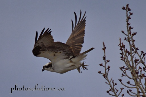 Osprey in trees over Bow River.leaving to catch a fish cropped wm