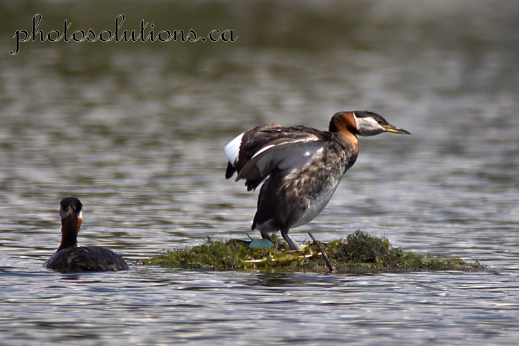 Red necked Grebe laying egg 2