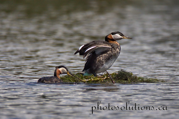 Red necked Grebe laying egg