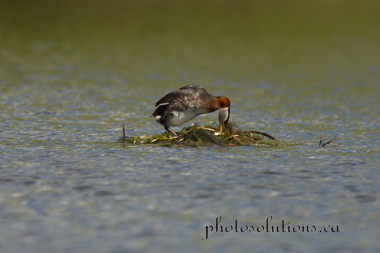 Red necked Grebe on floating nest cropped wm jpg