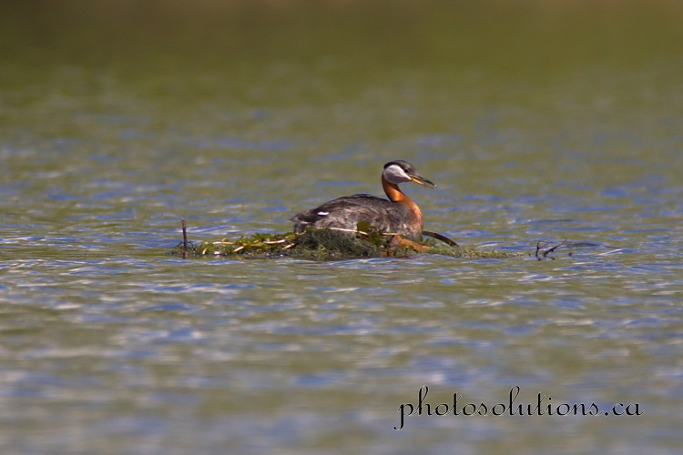 Red necked Grebe on floating nest settling cropped wm