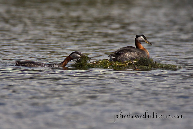 Red necked Grebe on pair building floating nest cropped w,