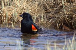 red winged blackbird bathing on the bow 4
