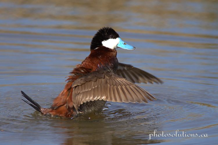 Ruddy Duck Frank Lake flapping cropped wm