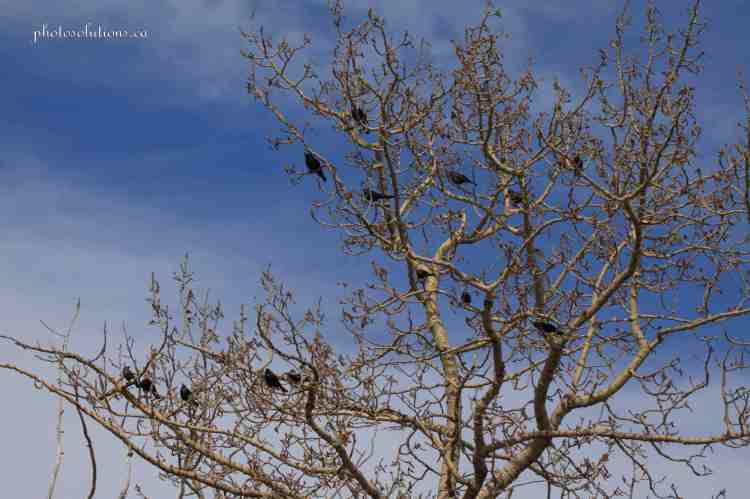 Songbirds in tree on the Bow wm