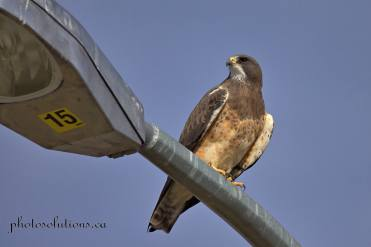 Swainson Hawk JWT cropped wm