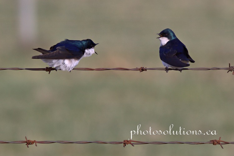 Tree Swallow conversation 1 cropped wm