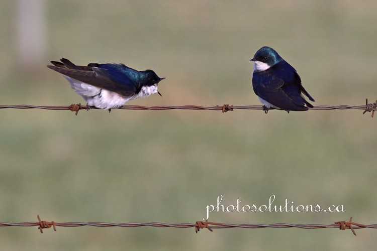 Tree Swallow conversation 2 cropped wm