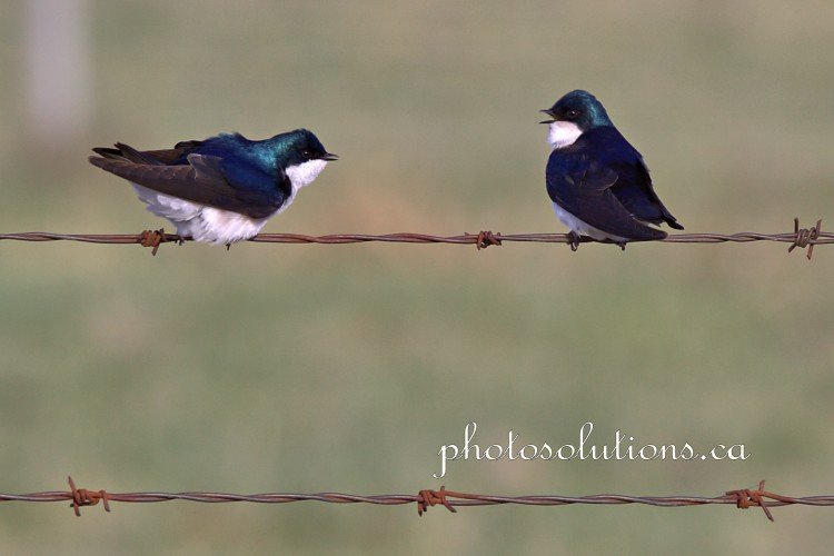 Tree Swallow conversation 3 cropped wm
