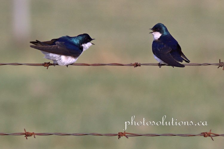 Tree Swallow conversation 4 cropped wm
