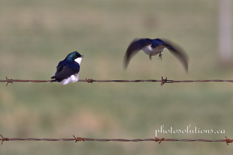 Tree Swallow conversation 5 cropped wm
