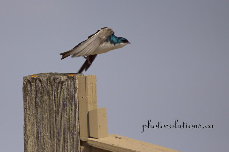 Tree Swallow flying off nest box cropped wm