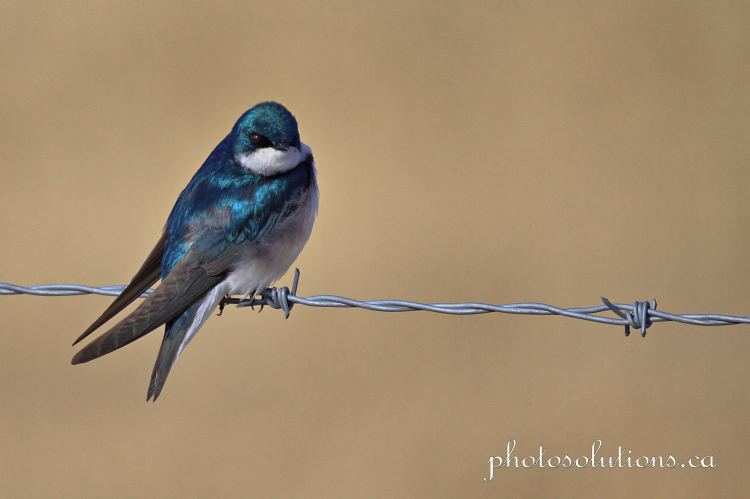 Tree Swallow RR51 CVR outing field background cropped wm