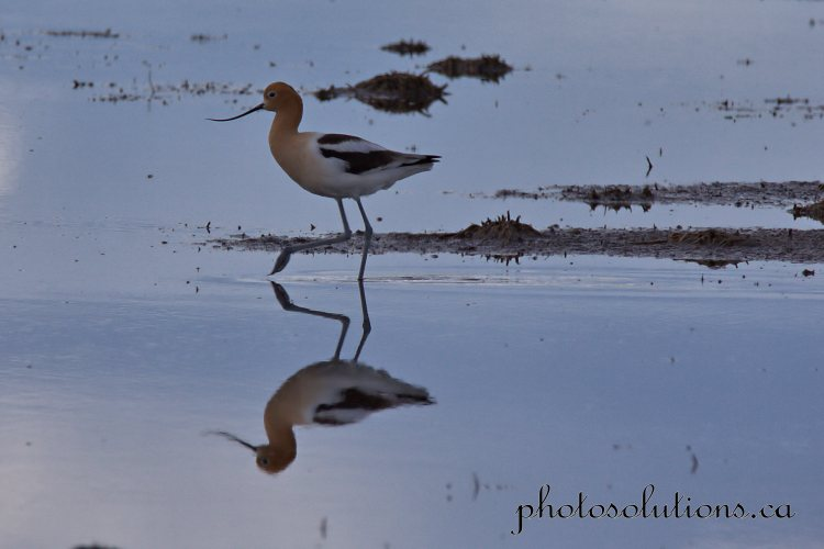 Avocet Airdrie pond reflection 2 cropped wm jpg