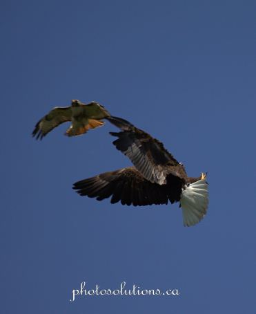 Bald Eagle and Hawk fight