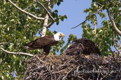 Bald Eagle dad at the nest