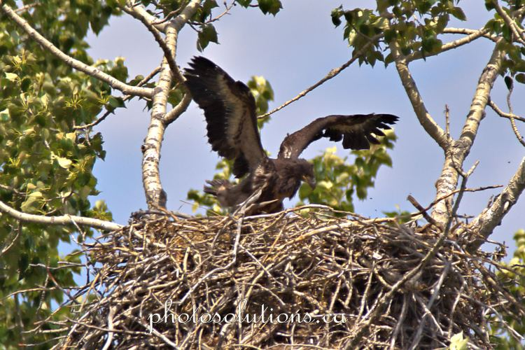 Bald Eaglet flapping wings