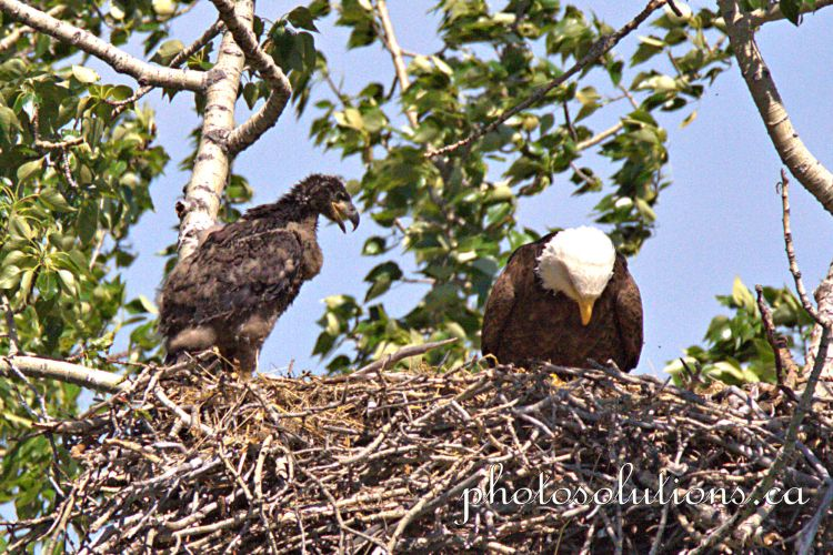 Bald Eaglet standing on edge of nest