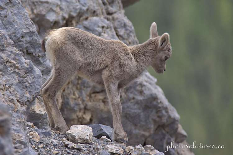 Big horn baby on sure footed rock ledge Grassi Lake cropped wm
