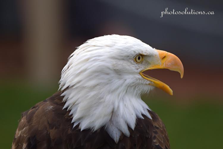 BOP Bald Eagle Call cropped wm