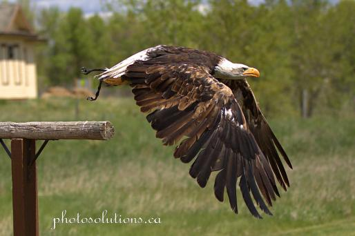 BOP Bald Eagle Flight Demo take off 3