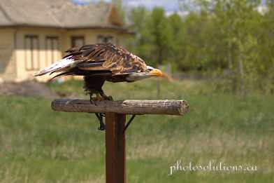 BOP Bald Eagle Flight Demo take off