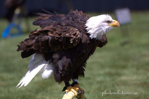 BOP Bald Eagle
