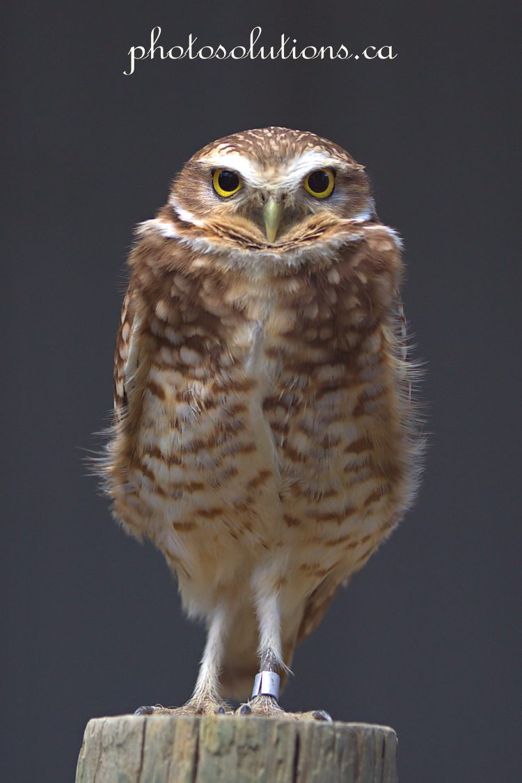 BOP Burrowing Owl