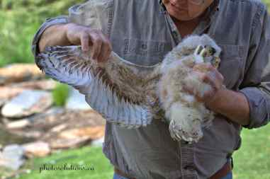 BOP Great Horned Owlet lessons 2