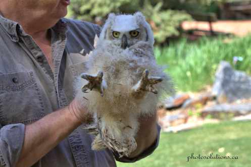 BOP Great Horned Owlet lessons