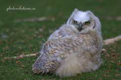 BOP Great Horned owlet on grass cropped wm