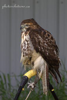 BOP Hawk cropped wm
