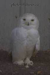 BOP Snowy Owl cropped wm