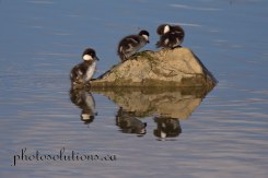 Common Goldeneye ducklings king of the rock cropped wm