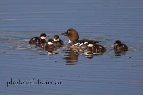 Common Goldeneye mom and ducklings cropped wm