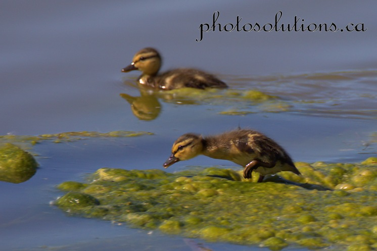 Duckling going over algae Riviera Pond cropped wm