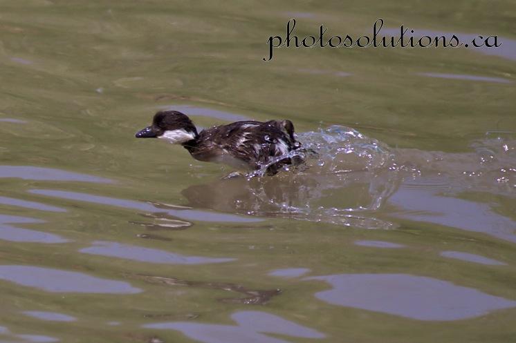 Duckling running