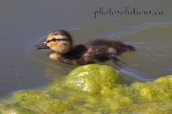 Duckling Swimming near algaeRiviera Pond cropped wm