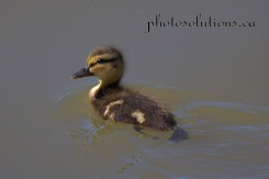 Duckling Swimming Riviera Pond cropped wm