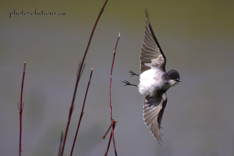 Eastern Kingbird in flight cropped wm